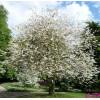 Ландышевое дерево