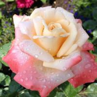 Роза кустовая «Белла Перл»