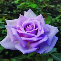 Роза кустовая «Голубой Нил»