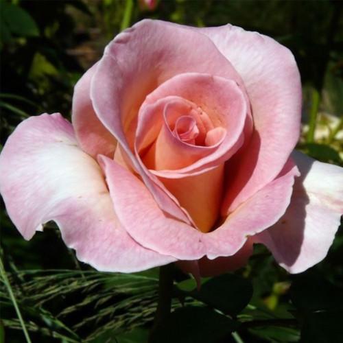 Роза кустовая «Саммер Леди»