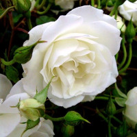 Роза кустовая «Айсберг»