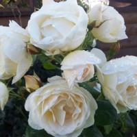 Роза плетистая «Ютерзенер Клостеррозе»