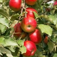 Колоновидная яблоня «Баргузин»