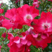Роза кустовая «Дортмунд»