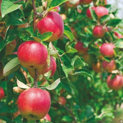 Саженец яблони «Малиновка»