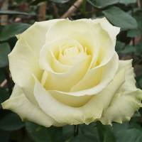 Роза кустовая «Мондиаль»