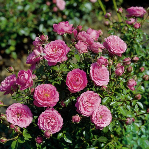 Роза миниатюрная «Амулет»
