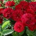 Роза плетистая «Норита»