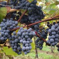 Виноград «Муромец»