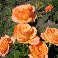 Роза миниатюрная «Импала Кордана»