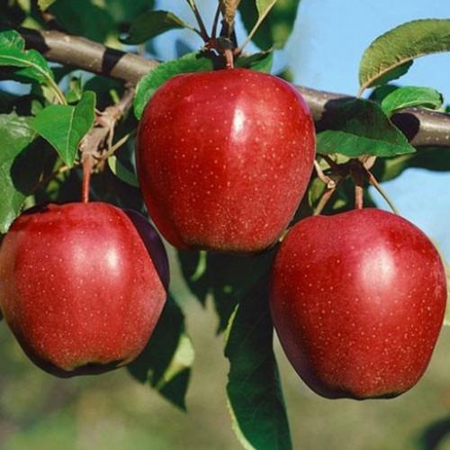 Яблоня «Глостер»