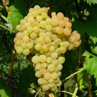 Виноград «Кишмиш Мускатный»