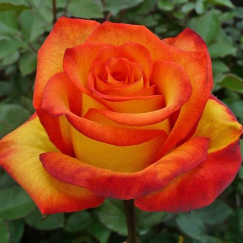Роза кустовая «Золотая Магия»