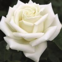Роза кустовая «Лили Понс»