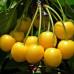Черешня «Дрогана Желтая»