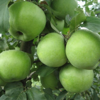 Яблоня «Симиренко»