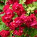 Роза плетистая «Фламентанц»