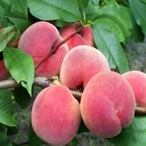 Колоновидный персик «Юбилейный»