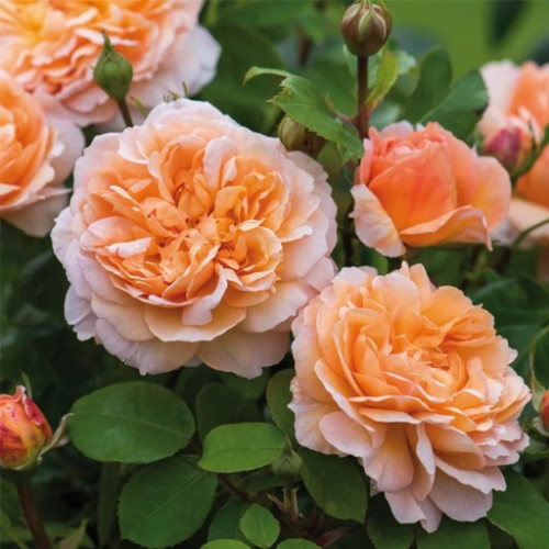 Роза миниатюрная «Даниэлла»