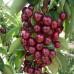 Колоновидная вишня «Восторг»