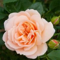 Роза английская «Гейша»