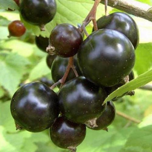 Смородина черная «Деликатес»