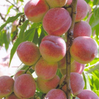 Персик «Донецкий Ранний»