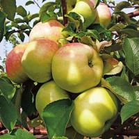 Яблоня «Богатырь»