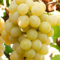 Виноград «Янтарный»