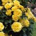 Роза плетистая «Голден Парфюм»