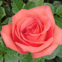 Роза кустовая «Муви Стар»