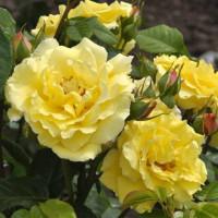 Роза плетистая «Лютеа Плена»
