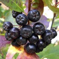 Арония черноплодная «Белдер»