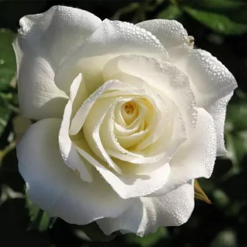 Роза кустовая «Маруся»