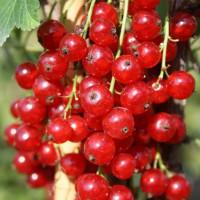 Смородина красная «Ненаглядная»