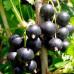 Смородина черная «Дачница»