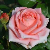 Роза кустовая «Нобилис»