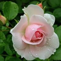 Роза кустовая «Свит Аваланж»