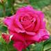 Роза кустовая «Шакира»