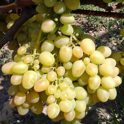 Виноград «Аркадия»