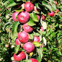 Колоновидная яблоня «Арбат»