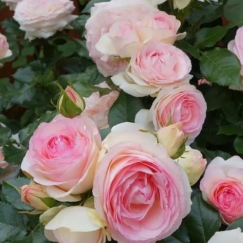 Роза плетистая «Пьер де Ронсар»
