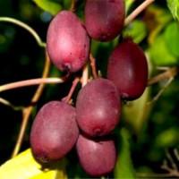 Актинидия «Пурпурна Садова»