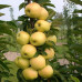 Колоновидная яблоня «Медок»