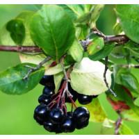 Арония черноплодная «Черноокая»