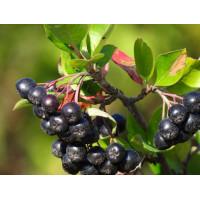 Арония черноплодная «Мулатка»