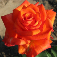 Роза кустовая «Ксюша»