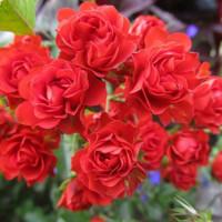 Роза миниатюрная «Скарлет Мейяндекор»