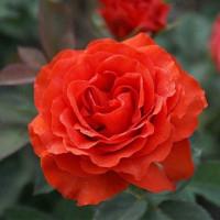 Роза кустовая «Эль Торо»