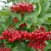 Калина садовая «Таежные Рубины»